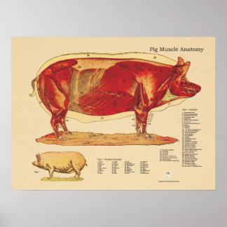 Carta veterinaria de la anatomía del músculo del póster