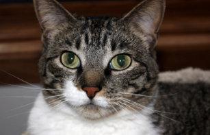 68128a19b Cartera De 3 Hojas Foto de la cara del gato de Tabby del mascota