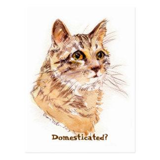 CAT de Coon de Maine:  ¿Domesticado? postal