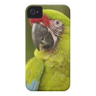 CAUTIVO militar del macaw (militaris del Ara). El  iPhone 4 Fundas