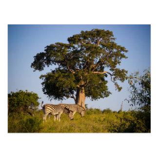 Cebras, Botswana, África, postal