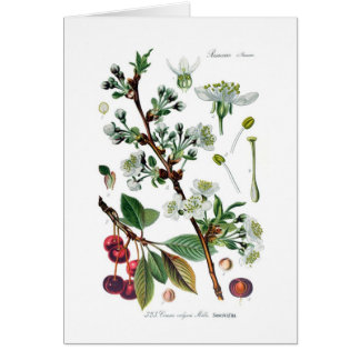 Cerasus vulgaris (cereza) tarjeta de felicitación