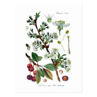 Cerasus vulgaris (cereza) tarjetas postales