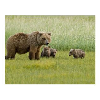 Cerda de Alaska y tres Cubs, Ursus del oso de Postal