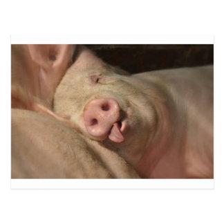 Cerdo el dormir postal