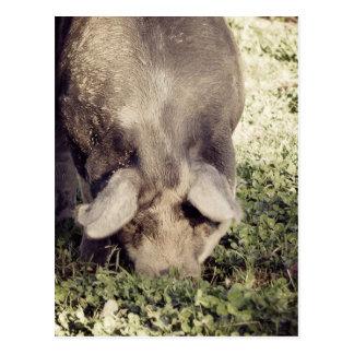 Cerdo negro del cerdo que arraiga en hierba postal