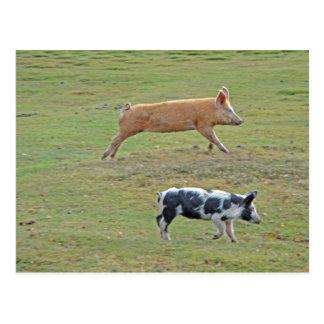 Cerdos del vuelo postal