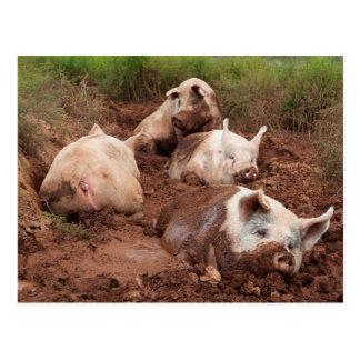 Cerdos perezosos en postal del fango
