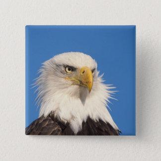 Chapa Cuadrada águila calva, leucocephalus del Haliaeetus, cierre
