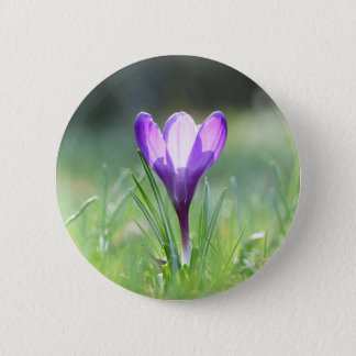 Chapa Redonda De 5 Cm Azafrán púrpura en primavera