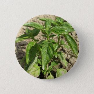 Chapa Redonda De 5 Cm Escoja la planta fresca de la albahaca que crece