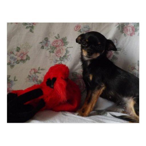 chihuahua con su postal del juguete