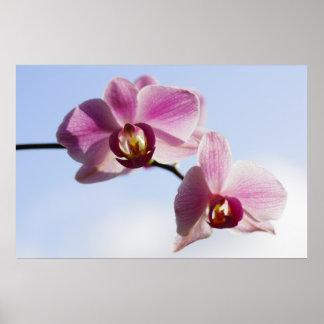 Cielo de orquídea póster
