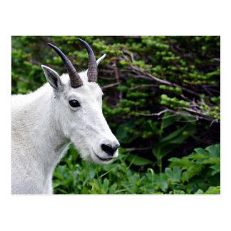 Cierre de la cabra de montaña para arriba postal