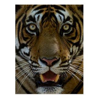 Cierre de la cara del tigre para arriba postal