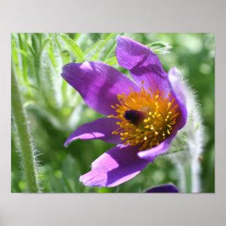 Cierre púrpura de la flor de Pasque para arriba Posters