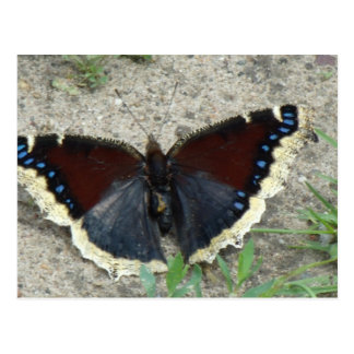 Ciérrese para arriba de mariposa de capa de luto postal