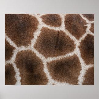 Ciérrese para arriba de piel de las jirafas póster