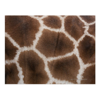 Ciérrese para arriba de piel de las jirafas tarjeta postal