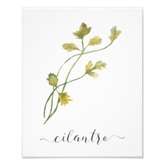 Cilantro botánico de la impresión de la hierba de foto