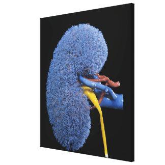 Circulación humana del riñón impresión en lona