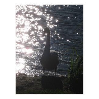 Cisne en la postal de la luz de la tarde