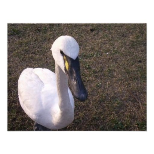 Cisne Comunicado