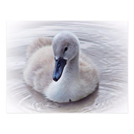 Cisne mudo del pollo del cisne postales