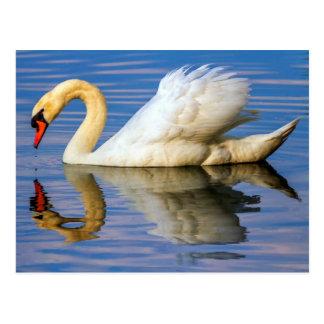 Cisne mudo, olor del cygnus postal