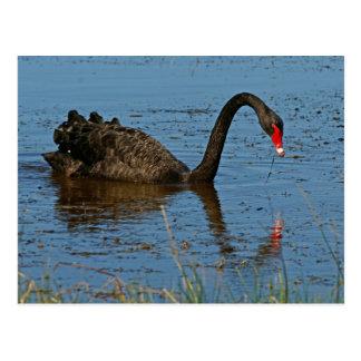 Cisne negro postal