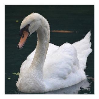 Cisne perfecto