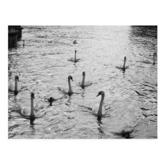 Cisnes blancos y negros postal
