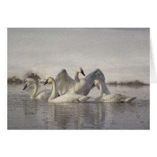 Cisnes de trompetista en el río de Madison en invi Tarjeta De Felicitación