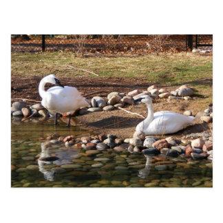 Cisnes de trompetista postal