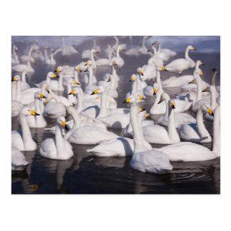 Cisnes de Whooper, Hokkaido, Japón Postal