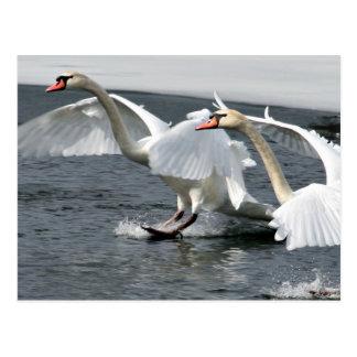 Cisnes del invierno que aterrizan la postal
