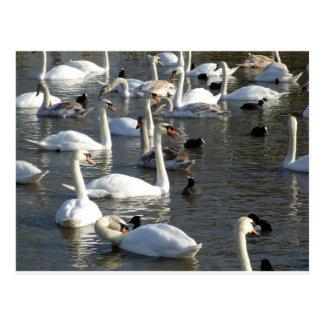 Cisnes en el lago postal