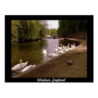 Cisnes en el río Támesis en Windsor Postal