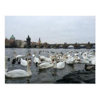 Cisnes en los bancos del puente de Charles Postal