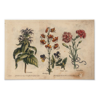 Clavel botánico de la impresión del arte de la