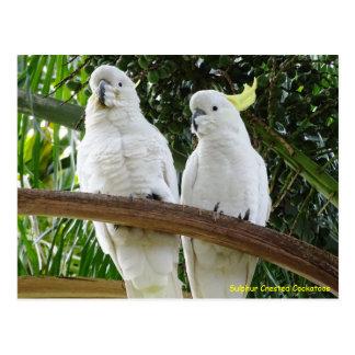 Cockatoos con cresta del azufre postal