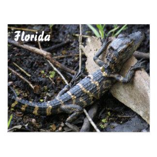 Cocodrilo del bebé en la postal de la Florida