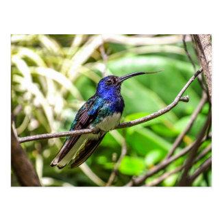 Colibrí azul postal