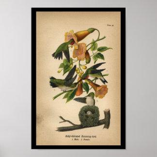 Colibrí Rubí-throated 1890 de la impresión del