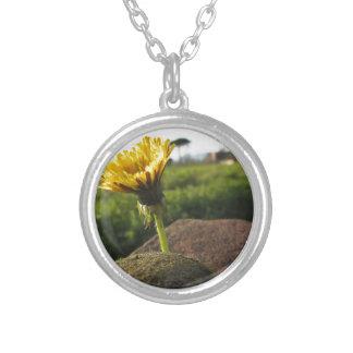 Collar Plateado Wildflower amarillo que crece en piedras en la