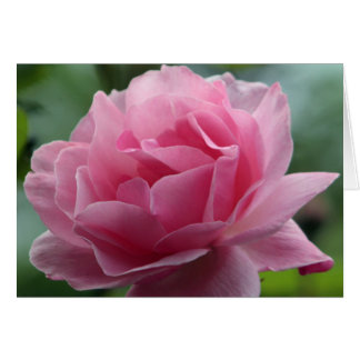 Color de rosa rosado en la plena floración tarjeta de felicitación