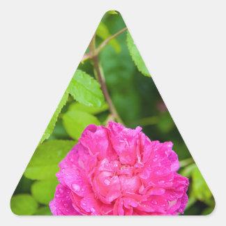 Color de rosa rosado pegatina triangular