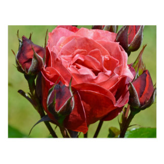 Color de rosa rosado y capullos de rosa postal