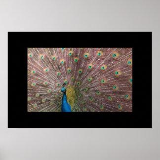 Colores del pájaro del arco iris póster