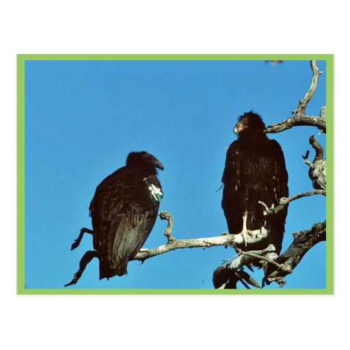 Cóndores juveniles tarjetas postales